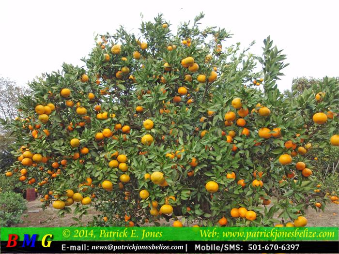 Problems in Belize's Citrus Industry