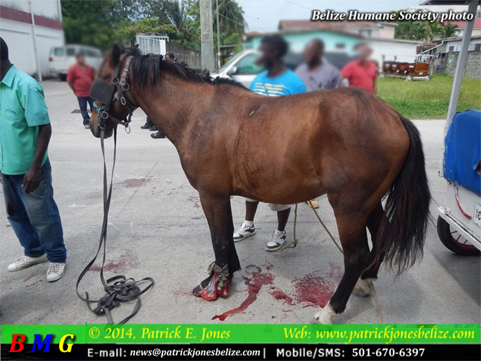 Horse and carriage incident (Courtesy Belize Humane Society)