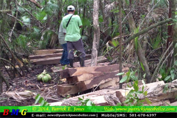 Illegal Rosewood harvest (Toledo district)