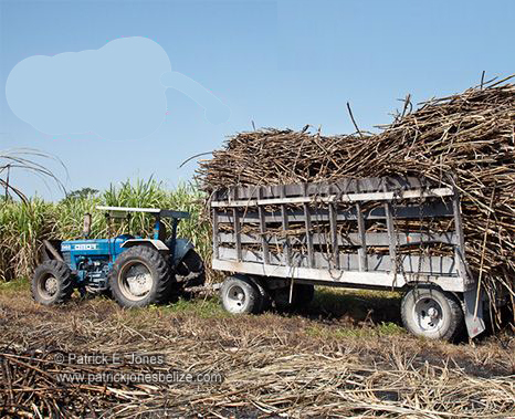 Sugar Cane Harvesting (Orange Walk)