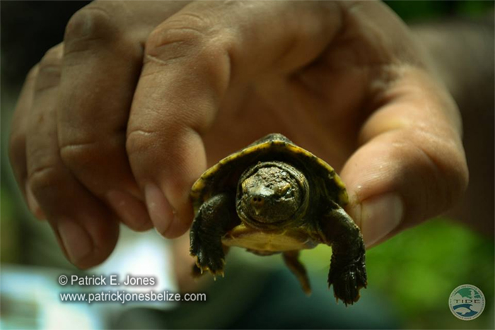 Hicatee hatchling (Courtesy TIDE)
