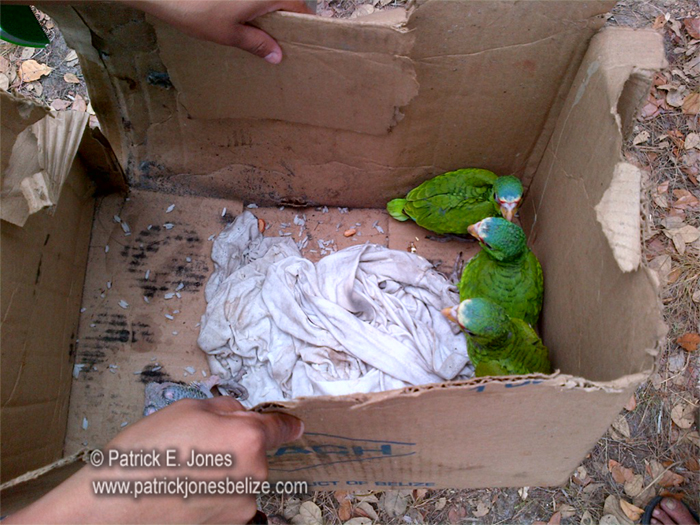 Illegally captured parrots