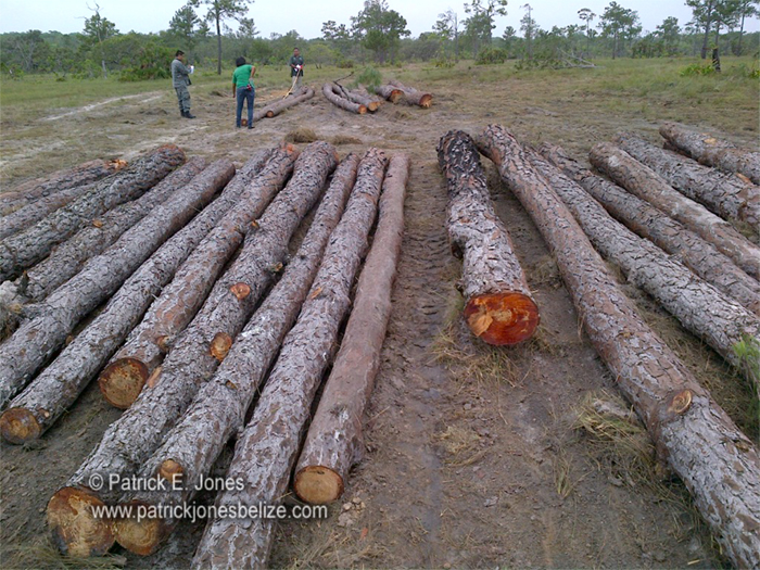 Illegally harvested logs