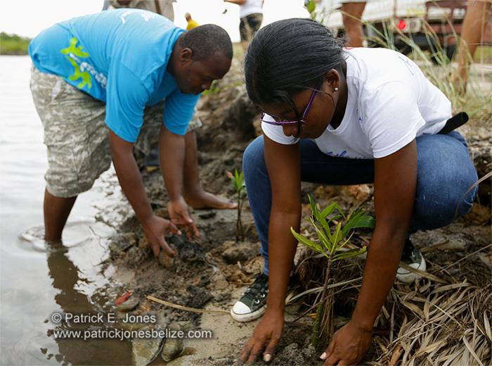 Planting mangroves (Placencia village)