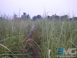 Corozal cane field