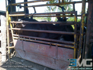 Belize Cattle Sweep