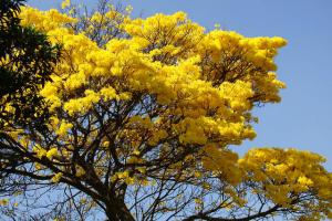 cortez-tree1