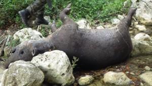 dead tapir