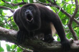 howler-monkey-
