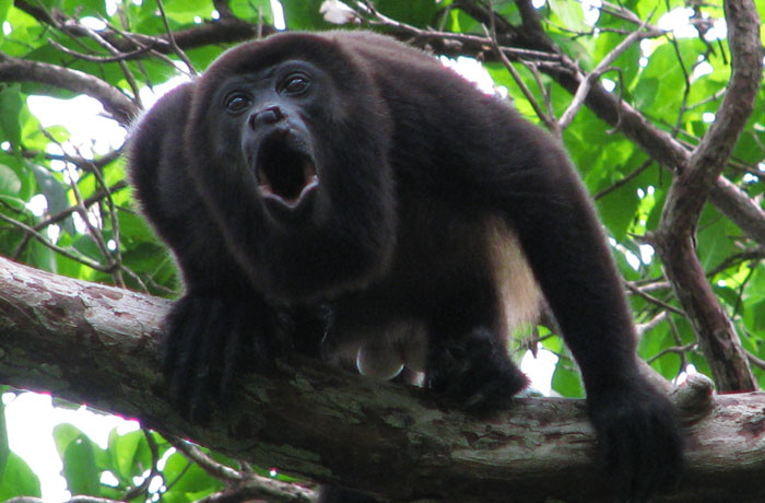 A Parable Why Belizes Howler Monkeys Are Having The Last