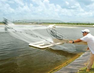 Belize_shrimp_on_international_market-310x241