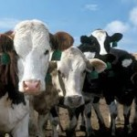Paralytic rabies affecting cattle in Belize