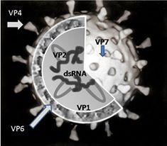 virus diahrea story