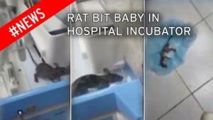 rat in the incubator 01
