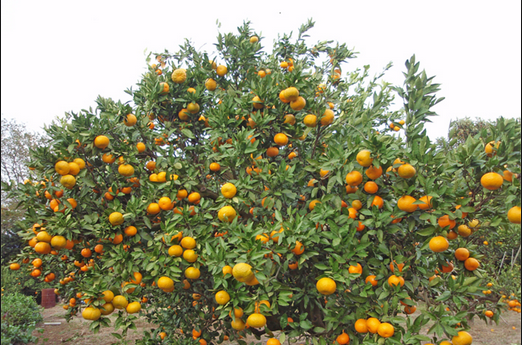 2016-08-19 14_58_57-breaking belize news citrus industry - Google Search