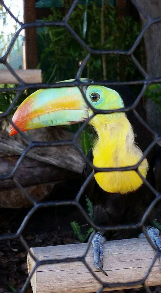 toucan-on-harvest-caye
