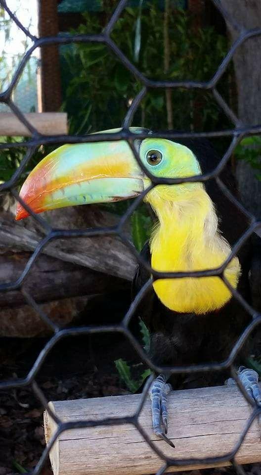 toucan-on-harvest-caye