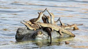 Conservationists to survey Morelet's crocodile population