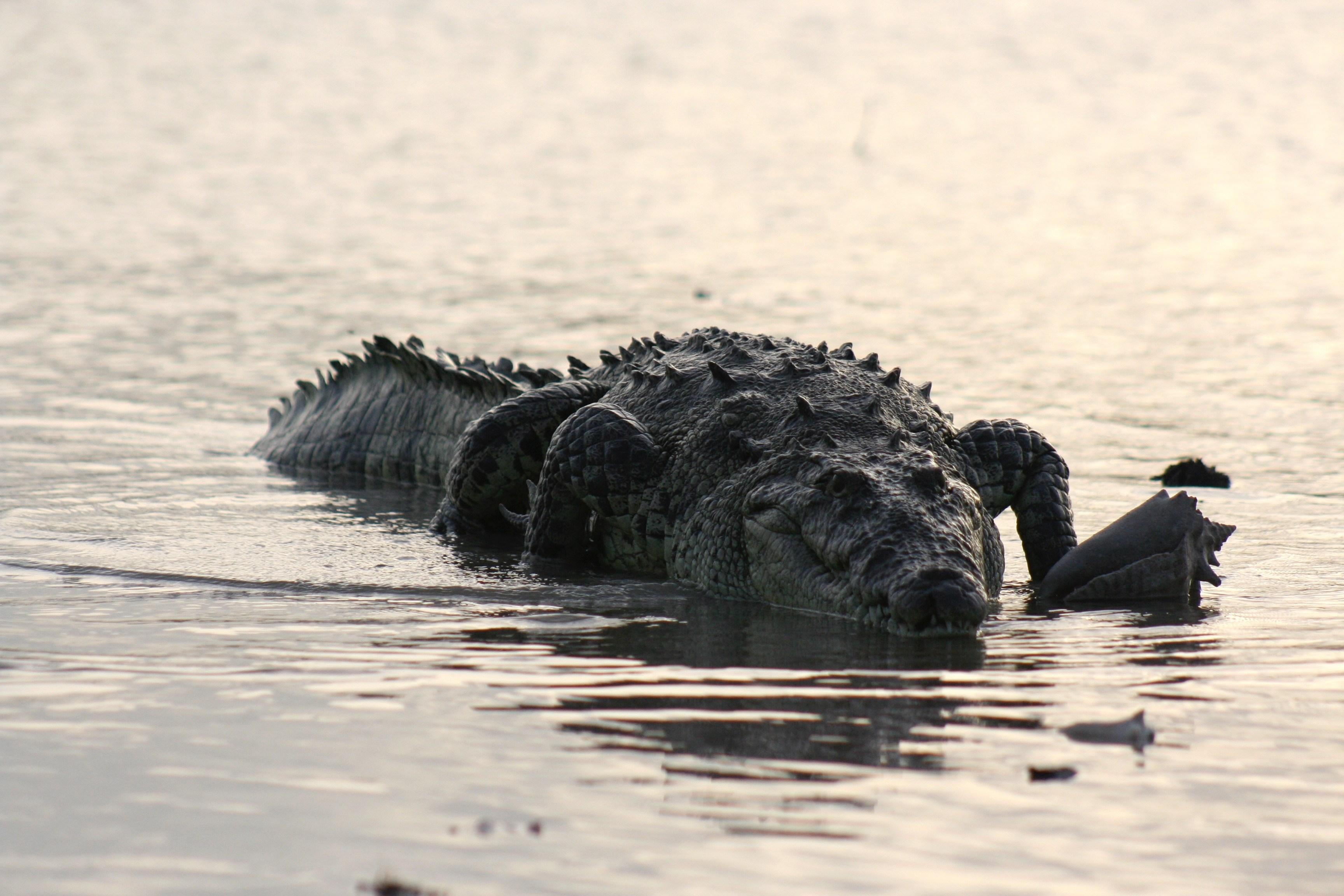 croc-34