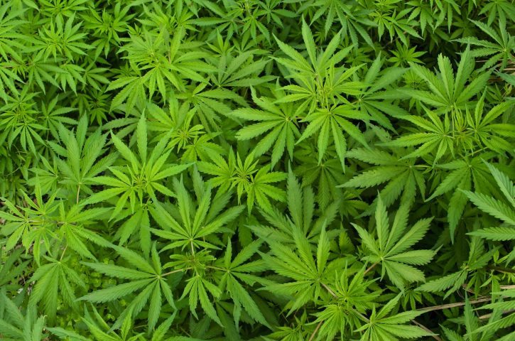 Police Find Over 1 Pound Of Marijuana In Roaring Creek