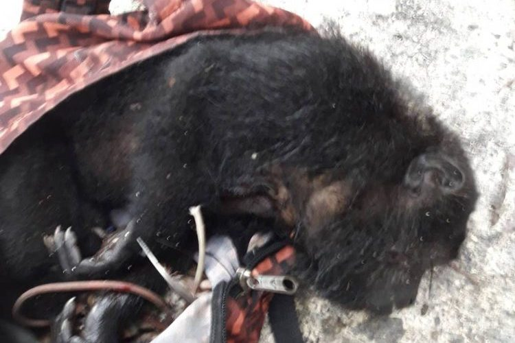 3 Belizeans busted with dead howler monkey