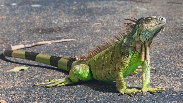 Hunting Season for Iguana is closed