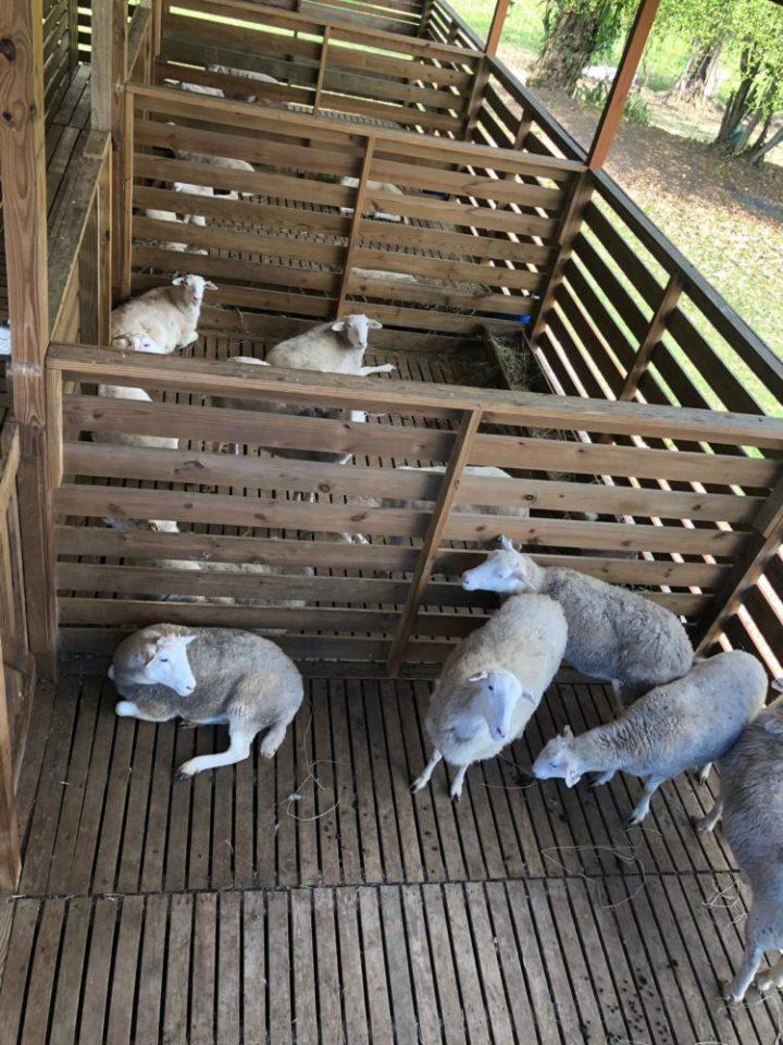 Katahdin sheep breeding stock arrives in Belize