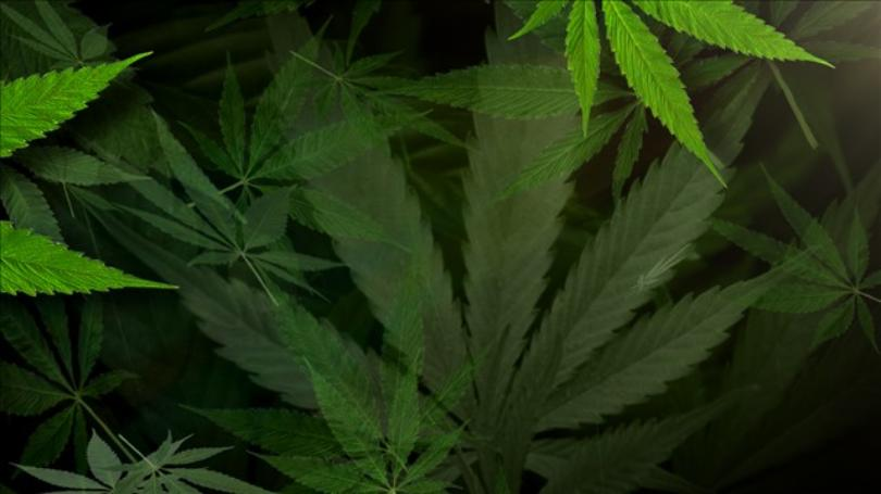 Police seize over 12 pounds of marijuana in separate operations