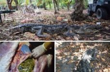 ACES pulls over 80 plastic bags from the stomach of euthanized crocodile