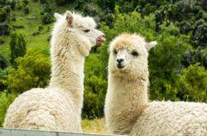 United Kingdom scientists using llama blood to help develop COVID-19 vaccine