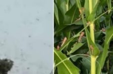 BREAKING: Central American locusts arrive in Belize – crops and pastures may be devastated