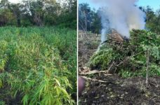 Authorities find large marijuana plantation in Consejo, Corozal