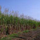 belize sugarcane